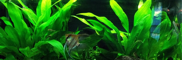 Amazon Sword, a Midground Plant for Freshwater Aquariums