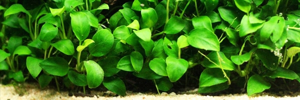 10 best freshwater aquarium plants for beginners