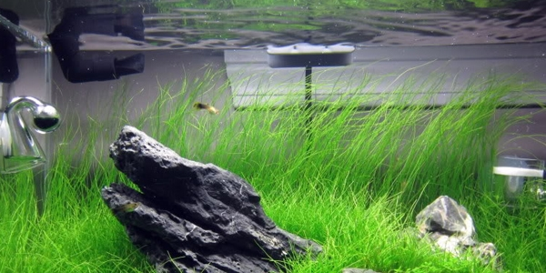 Proper Way to Grow Dwarf Hair Grass & Proper Way to Grow Dwarf Hair Grass | The Aquarium Guide