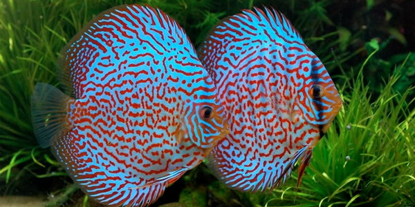 Colourful Freshwater Fish - Discus Fish