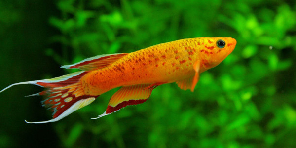 10 most colorful freshwater fish the aquarium guide for Common freshwater aquarium fish