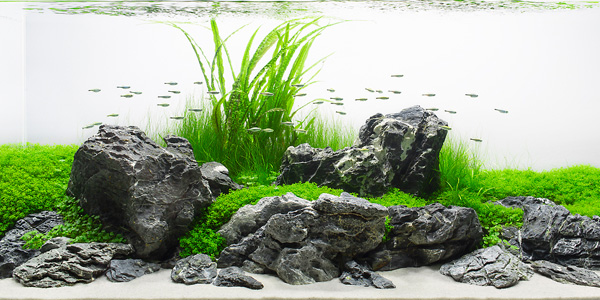 Captivating Iwagumi Style Aquascape