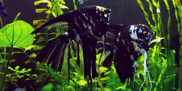 Different Types of Freshwater Angelfish | The Aquarium Guide