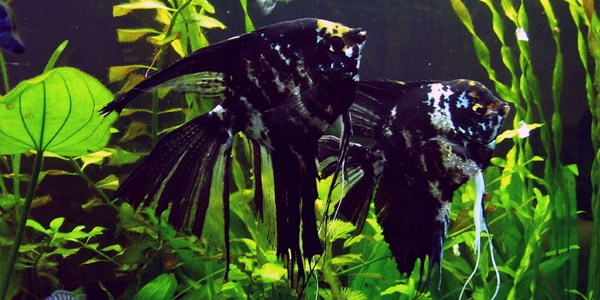 Different Types Of Freshwater Angelfish The Aquarium Guide