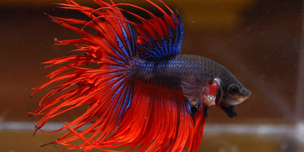Betta fish series types of betta fish the aquarium guide for Crowntail betta fish