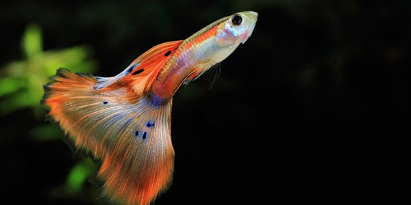 How To Care For Guppies The Aquarium Guide