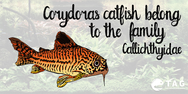 Types of Corydoras