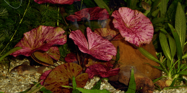 Red tiger lotus care guide the aquarium guide the red tiger lotus nypmhaea zenkeri is an african stagnant water plant that is easy to keep and is widely used in aquariums it has a medium growth speed mightylinksfo