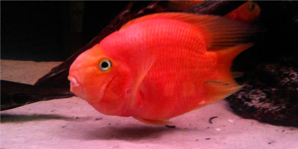 blood red parrot cichlid care guide the aquarium guide