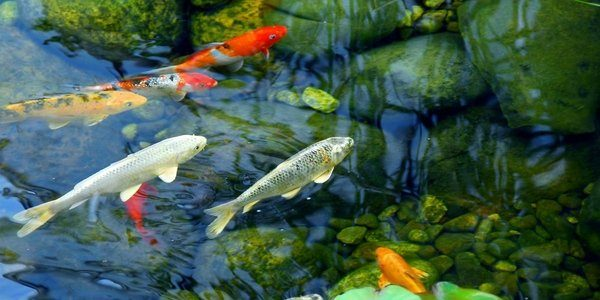 Koi Fish Care