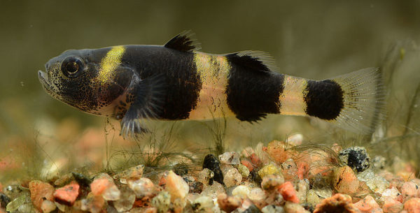 bumblebee goby guide