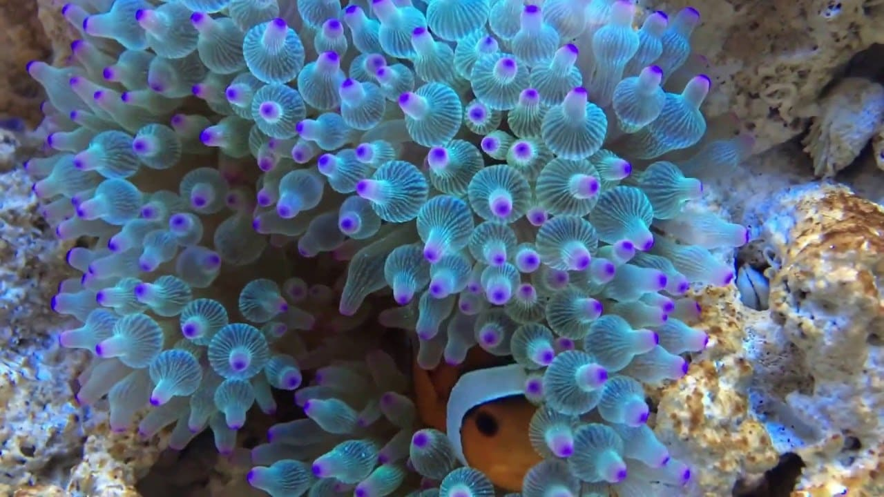 Bubble Tip Anemone Care And Breeding Guide The Aquarium