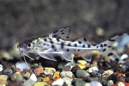 Pictus Catfish