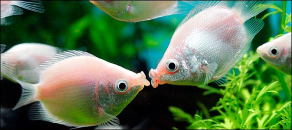 kissing gourami care