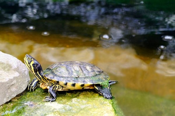 Yellow Bellied Slider